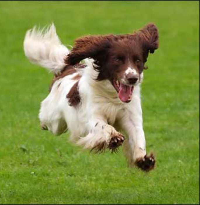 Picture of a happy dog running